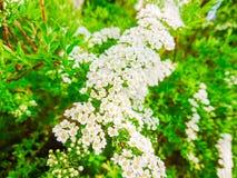 Pequeñas flores y hojas blancas del verde en Bush Foto de archivo libre de regalías