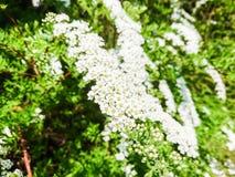 Pequeñas flores y hojas blancas del verde en Bush Imagenes de archivo