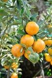 Frutas de árbol anaranjado Foto de archivo libre de regalías