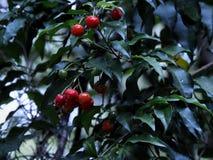 Pequeñas frutas brillantes rojas foto de archivo