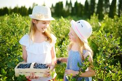 Pequeñas hermanas lindas que escogen bayas frescas en granja orgánica del arándano en día de verano caliente y soleado Alimento b fotografía de archivo libre de regalías
