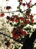 Pequeñas hojas de arce rojas en un parque del otoño fotografía de archivo libre de regalías