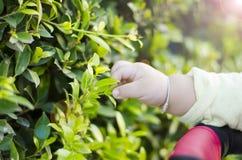 Pequeñas hojas de la mano y del verde del bebé Foto de archivo