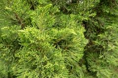 Pequeñas hojas del fondo de la textura del árbol de pino Fotografía de archivo libre de regalías