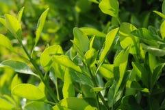 Pequeñas hojas del verde Fotografía de archivo libre de regalías
