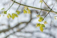 Pequeñas hojas en el fondo de invierno Imagenes de archivo