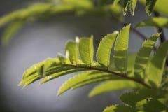 Pequeñas hojas retroiluminadas del verde Fotos de archivo
