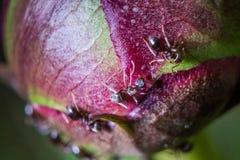 Pequeñas hormigas que se arrastran en un brote de la peonía fotografía de archivo
