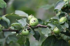 Pequeñas manzanas en una ramificación imagen de archivo libre de regalías