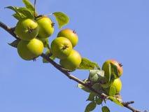 Pequeñas manzanas verdes Foto de archivo libre de regalías