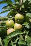 Pequeñas manzanas verdes en una rama Imagen de archivo