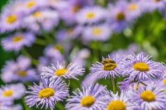 Pequeñas margaritas púrpuras - Erigeron Imagen de archivo