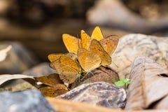 Pequeñas mariposas del leopardo Fotografía de archivo libre de regalías