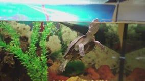 Pequeñas nadadas lado-necked de la tortuga en acuario resolución 4K almacen de video