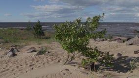 Pequeñas oscilaciones verdes del árbol en el viento en la orilla del mar Báltico en un día de verano metrajes