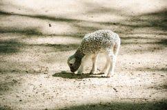 Pequeñas ovejas grises dulces en parque imagen de archivo