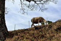 Pequeñas ovejas lindas Imagen de archivo libre de regalías