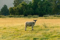 Pequeñas ovejas lindas negras sobre animal del campo del vidrio verde Imagen de archivo