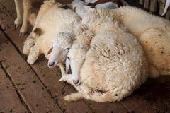 Pequeñas ovejas pobres Fotos de archivo