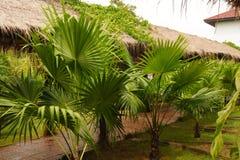 Pequeñas palmeras con las hojas amplias Imágenes de archivo libres de regalías