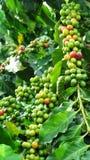 Pequeñas partículas de Yunnan del café Foto de archivo libre de regalías