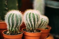 Pequeñas pequeñas plantas del cactus de los cactus en potes en mercado de la tienda Fotografía de archivo