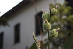 Pequeñas piñas Crecimiento de flores verde espinoso de rama fotos de archivo
