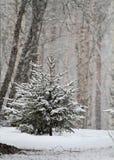 Pequeñas piceas en caída de la nieve fotografía de archivo