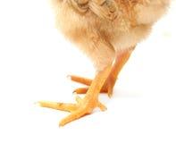 Pequeñas piernas de pollo Fotografía de archivo