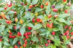 Pequeñas pimientas rojas que crecen en un árbol al aire libre Imágenes de archivo libres de regalías