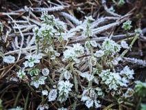 Pequeñas plantas con hielo Imagen de archivo