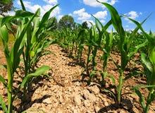 Pequeñas plantas de maíz - visión de debajo Foto de archivo libre de regalías