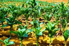 Pequeñas plantas de tabaco en Mesa de los Santos, Colombia fotografía de archivo
