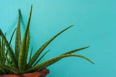 Pequeñas plantas de Vera del áloe con la pared en colores pastel del cemento imagenes de archivo