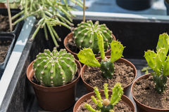 Pequeñas plantas del cacto Imagen de archivo libre de regalías