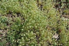 Pequeñas plantas del testiculata de Ceratocephala sin las flores Imágenes de archivo libres de regalías