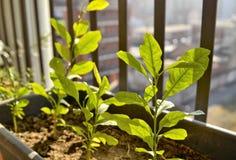 Pequeñas plantas en conserva del limón El sol del invierno tiene una luz amarillenta que ilumine la escena imagen de archivo libre de regalías