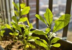 Pequeñas plantas en conserva del limón El sol del invierno tiene una luz amarillenta que ilumine la escena foto de archivo