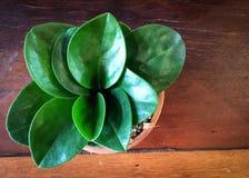 Pequeñas plantas en conserva en pote de arcilla en la tabla de madera Foto de archivo