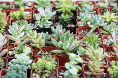 Pequeñas plantas suculentas en potes Imagenes de archivo