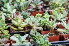 Pequeñas plantas suculentas en potes Fotografía de archivo