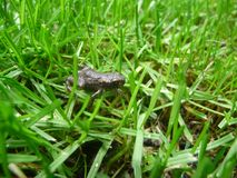 Pequeñas ranas en el verde foto de archivo