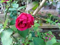 Pequeñas rosas fotografía de archivo