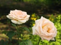 Pequeñas rosas amarillas claras Fotografía de archivo libre de regalías