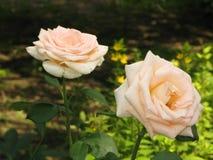 Pequeñas rosas amarillas claras Fotografía de archivo