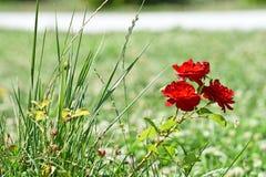 Pequeñas rosas rojas Imagen de archivo libre de regalías