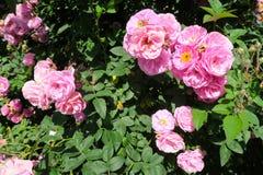 Pequeñas rosas rosadas en un árbol Fotografía de archivo libre de regalías