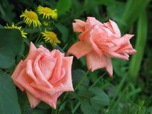Pequeñas rosas rosas claras Fotografía de archivo libre de regalías