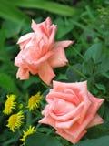 Pequeñas rosas rosas claras Fotos de archivo libres de regalías