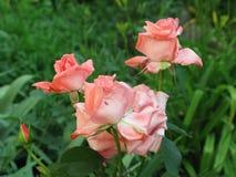 Pequeñas rosas rosas claras Imagenes de archivo